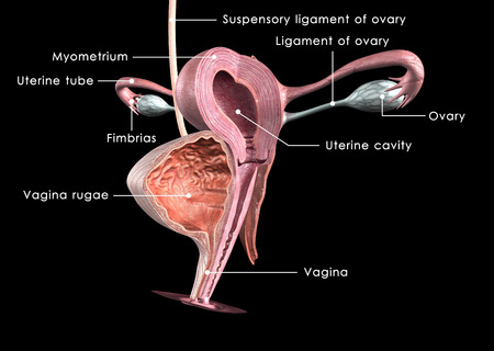 health woman: Female reproductive system