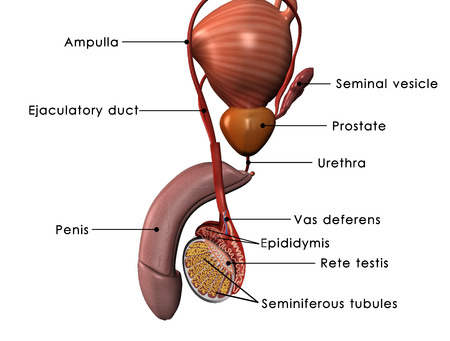 seminal vesicle: Male reproductive system