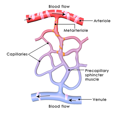 Blood Capillary Banque d'images