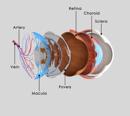 Eye anatomy photo