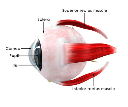 optic nerve: Human Eye
