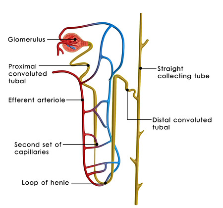 Nephrons photo