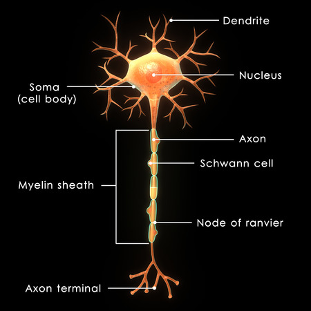 cellule nervose: Neuron