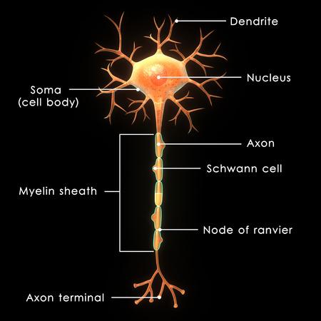 nervios: Neurona Foto de archivo