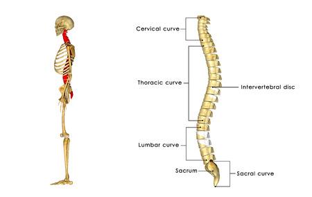 Columna vertebral  Foto de archivo