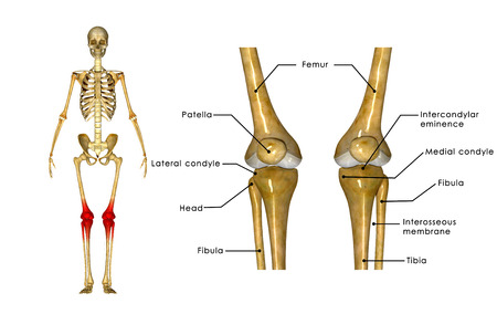 anatomy leg: Skeleton Knees