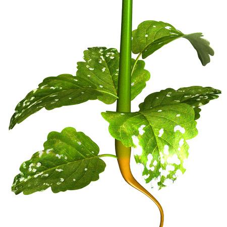 mustard plant: Mustard plant