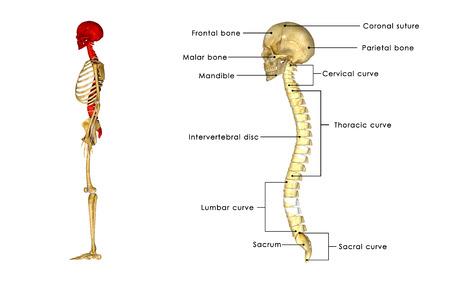 medula espinal: Cráneo con la médula espinal Foto de archivo