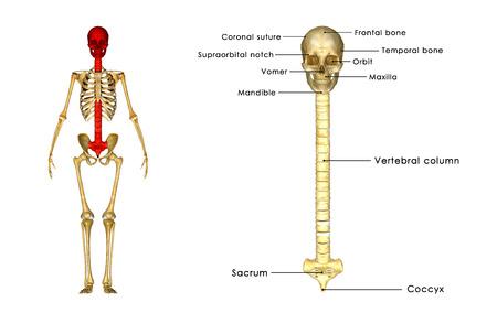 medula espinal: Cr�neo con la m�dula espinal Foto de archivo