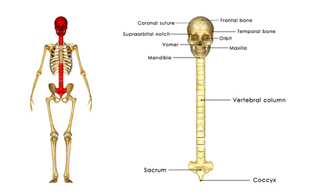lateral cord: Skull with spinal cord