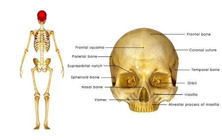 maxilla: Skull