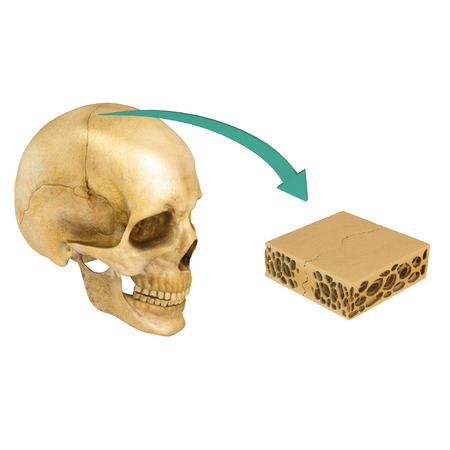 suture: Suture bone of skull