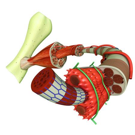 근육 조직