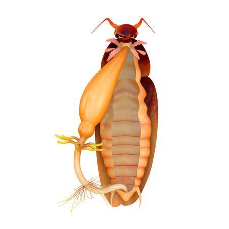 foreleg: Cockroach digestive system