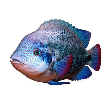 Cichild fish photo