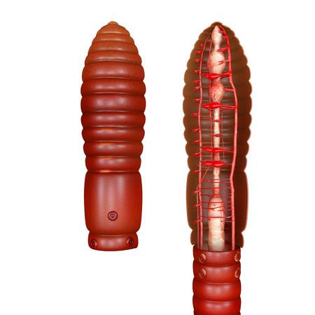 earthworm: Circulatory System of earthworm