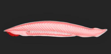 gonads: Amphioxus