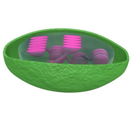 eukaryote: Chloroplast