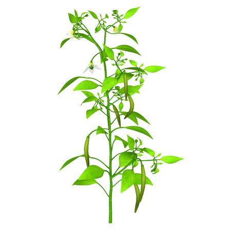 Chilli plant photo
