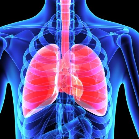 Human Lungs Foto de archivo