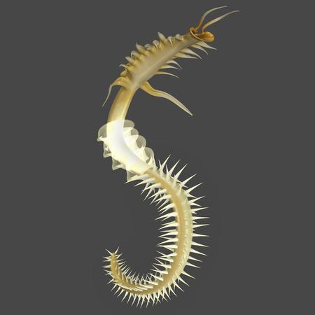 annelida: Chaetopterus Stock Photo