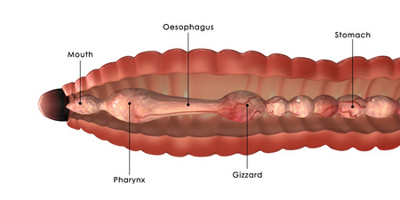 Earthworm Anatomy Stock Photo