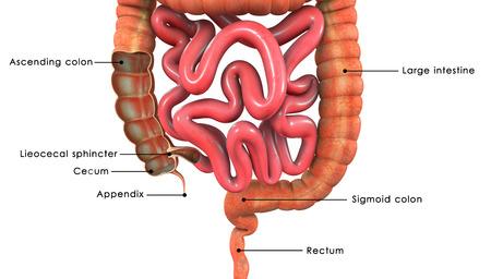 intestino grueso: Gran intersecci�n intestino Foto de archivo