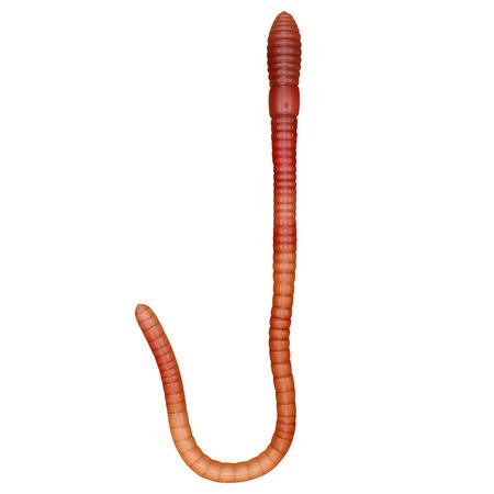 annelida: earthworm