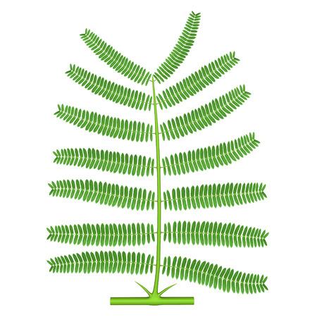 pinnately: Bipinnate (Acacia) Stock Photo