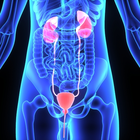 Kidneys in 3d  Stock Photo