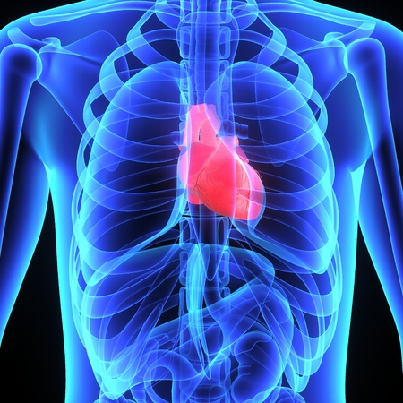 pulmonary artery: Human Heart