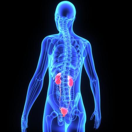Kidneys in 3d  Standard-Bild