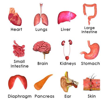organi interni: Organi Umani