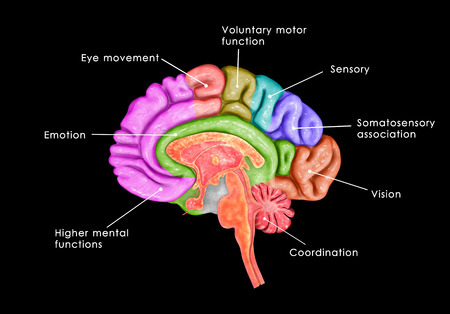 frontal lobe: Brain parts Stock Photo