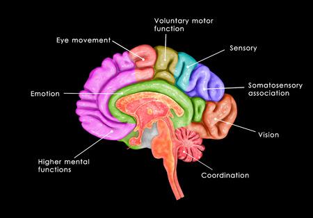sistema nervioso central: Partes del cerebro