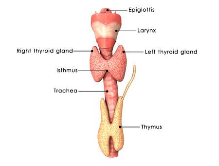 甲状腺腺 写真素材