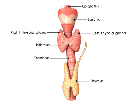 throat: Thyroid glands
