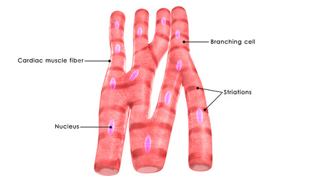 Cardiac muscle