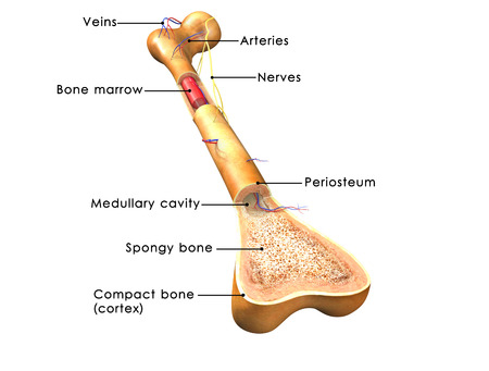 marrow: structure of bone Stock Photo