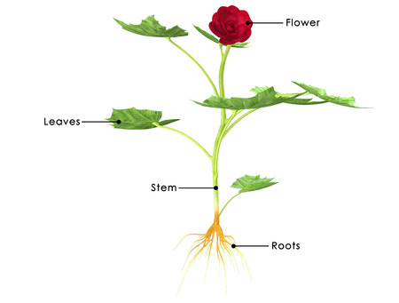 Begonia photo