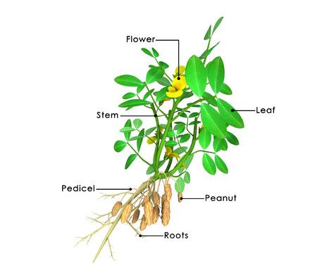 arachis: Arachis hypogea