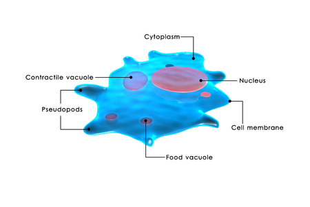 vacuole: ameoba Stock Photo
