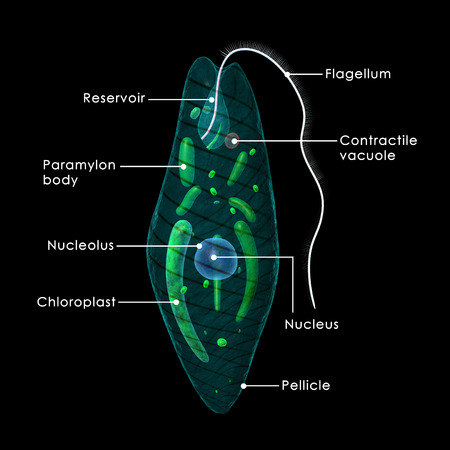 vacuole: Euglena Stock Photo