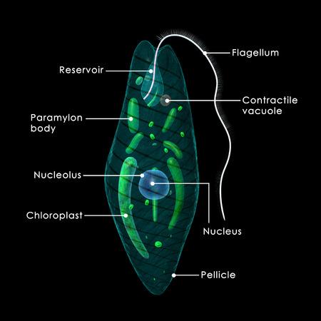 unicellular: Euglena Stock Photo