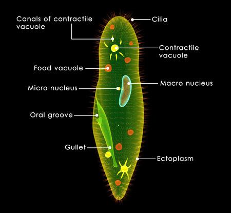 osmosis: Paramecium