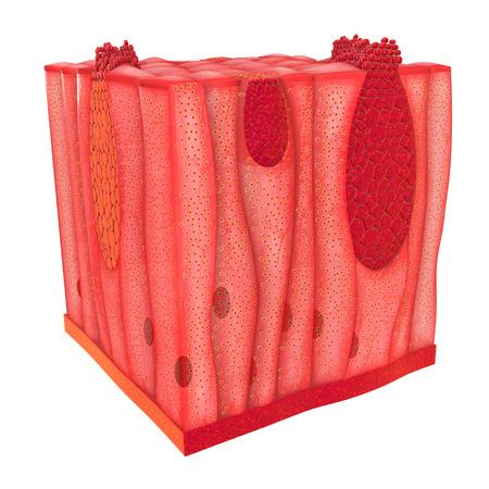 Unicellular Epithelium photo