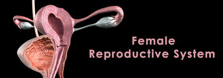 female reproductive system: Sistema reproductivo femenino Foto de archivo