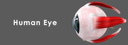 optic nerves: Human Eye