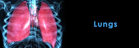 Human Lungs photo
