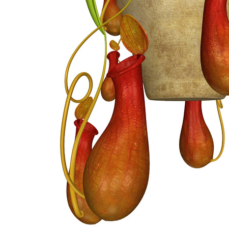 insectivorous plants: Insectivorous plants